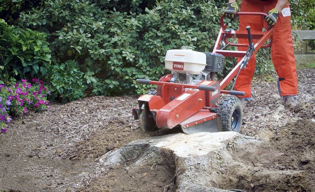 A man wearing orange protective pants pushes a tree stump grinder into a tree stump to begin removing it.
