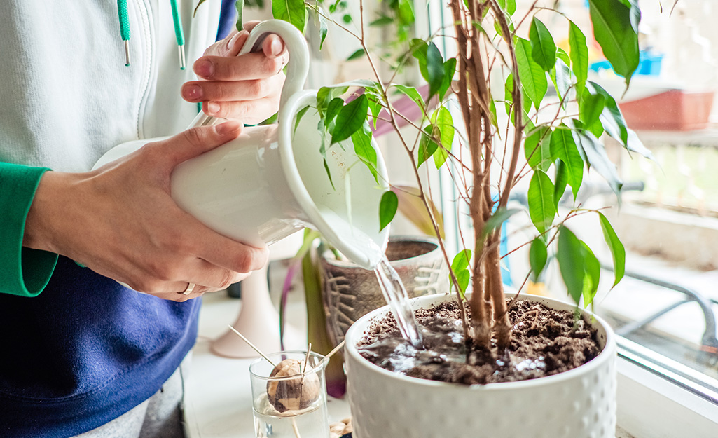 Person pouring water from a white pitcher into a houseplant by a window.