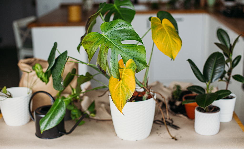 A houseplant with yellowing leaves beside other small houseplants and a small, black watering can on a countertop