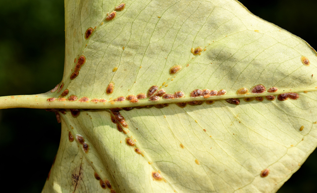 Scale insects underneath a houseplant leaf.