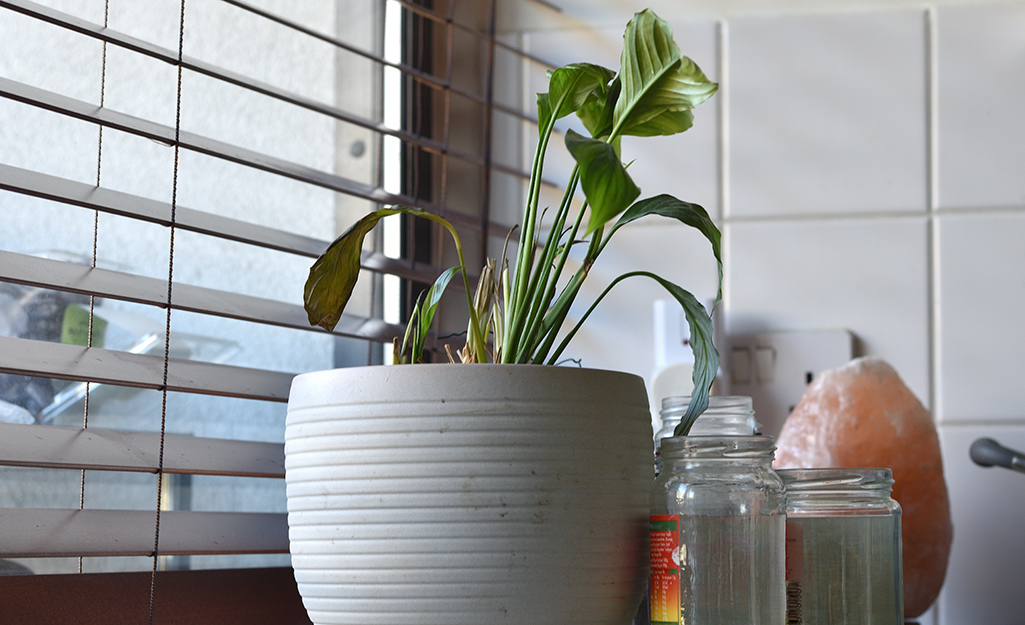 A weak-looking houseplant with tattered leaves in a white pot sitting near a kitchen window.