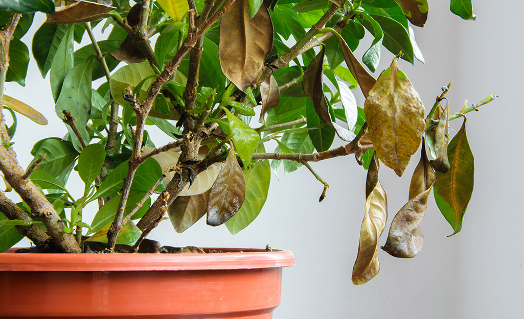 A houseplant with dead and dying brown leaves.