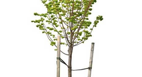 Attach webbing around tree - Stake a Tree