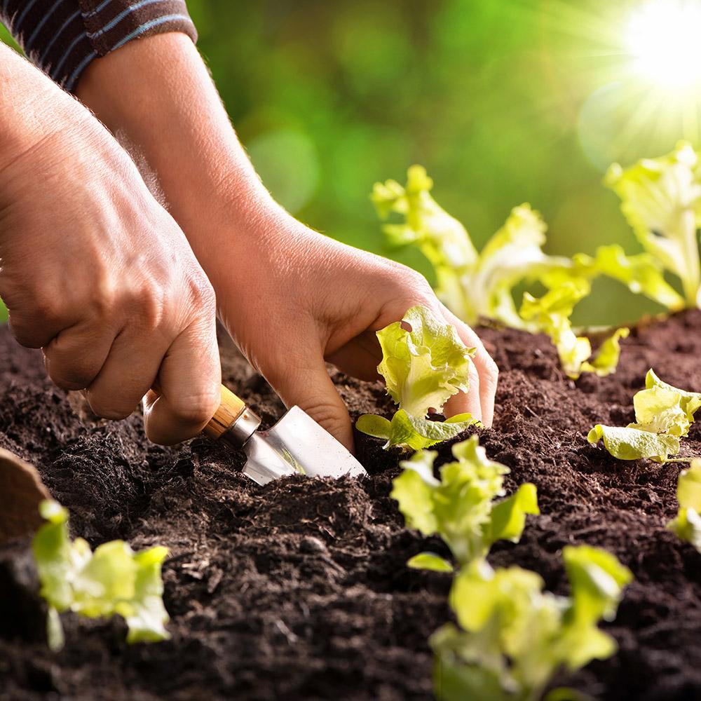 Gardener plants lettuce seedlings