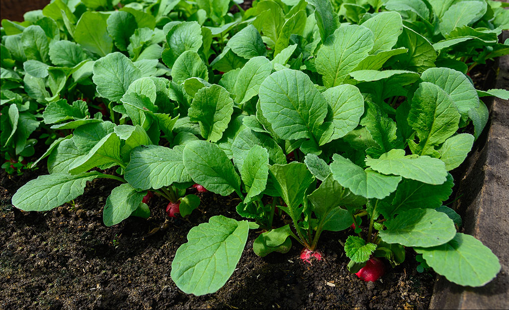 Radishes growing in the garden