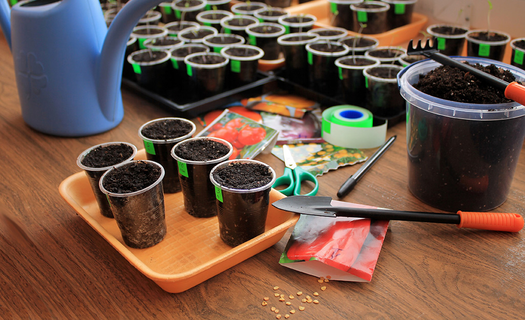 Cups with potting mix and seeds