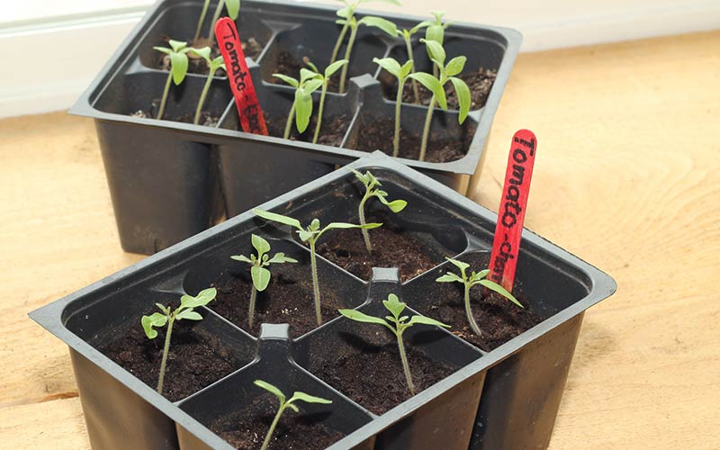 Tomato seedlings in a tray