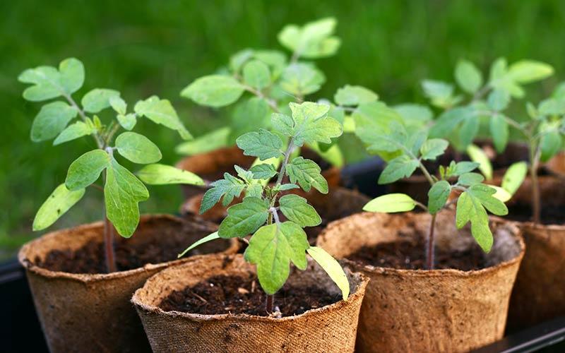 Tomato seedlings in peat pots