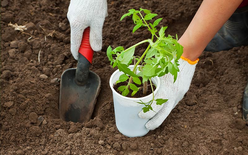 Gardener transplants tomato seedling into garden soil