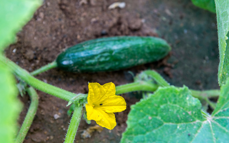 a single cucumber in the soil of a garden