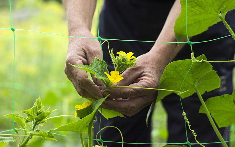 person pruning plant leaves on a garden trellis