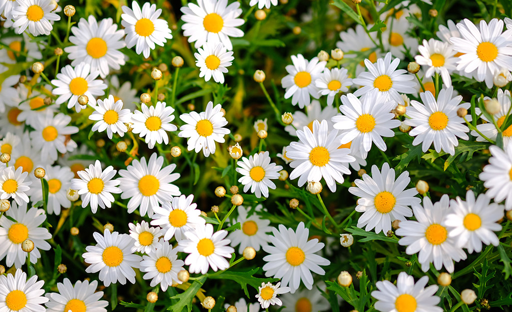 White daisies in a garden