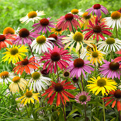 Colorful coneflowers in a garden