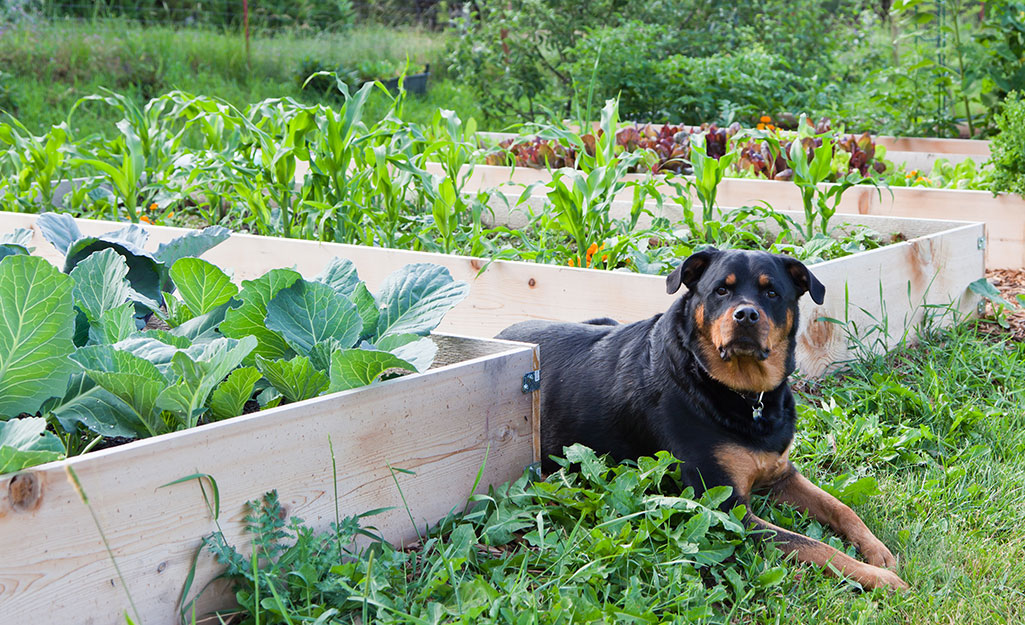 A dog sitting by a raised garden bed