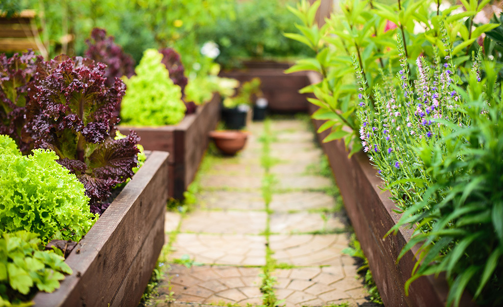 Rows of greens in a raised bed garden