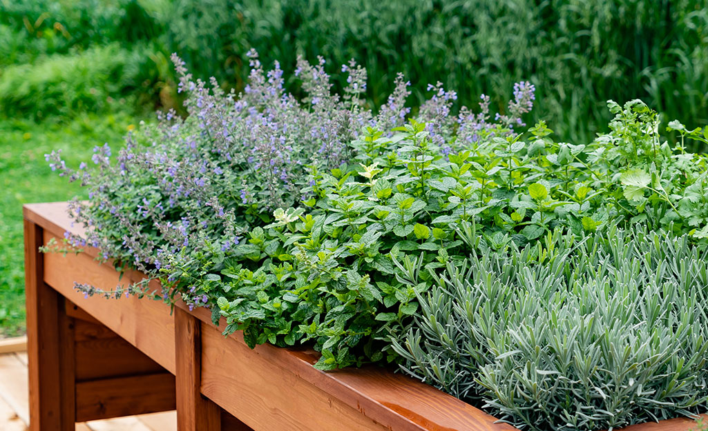 Herbs planted in a raised bed