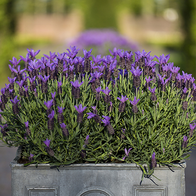Blooming lavender in a galvanized container