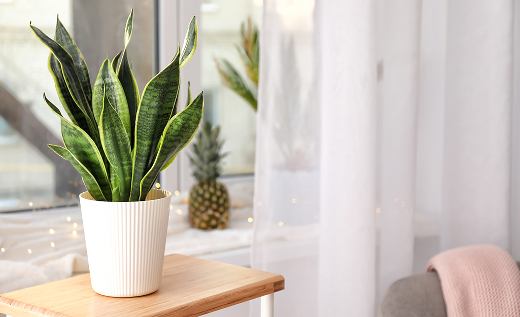 A snake plant in a white pot sits near a window.