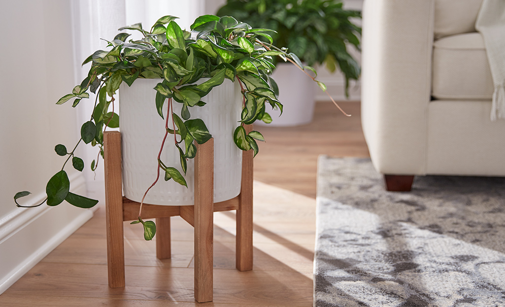 A hoya plants sits in a modern white and wooden planter.