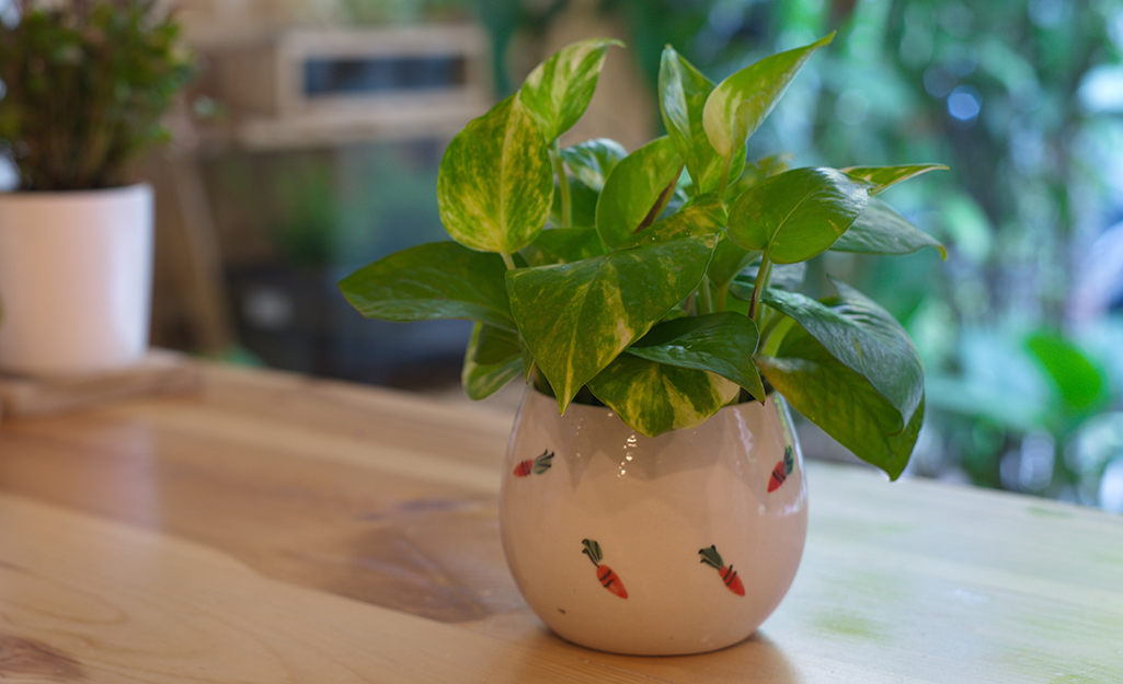 A small potted pothos plant sits on a table in low light.