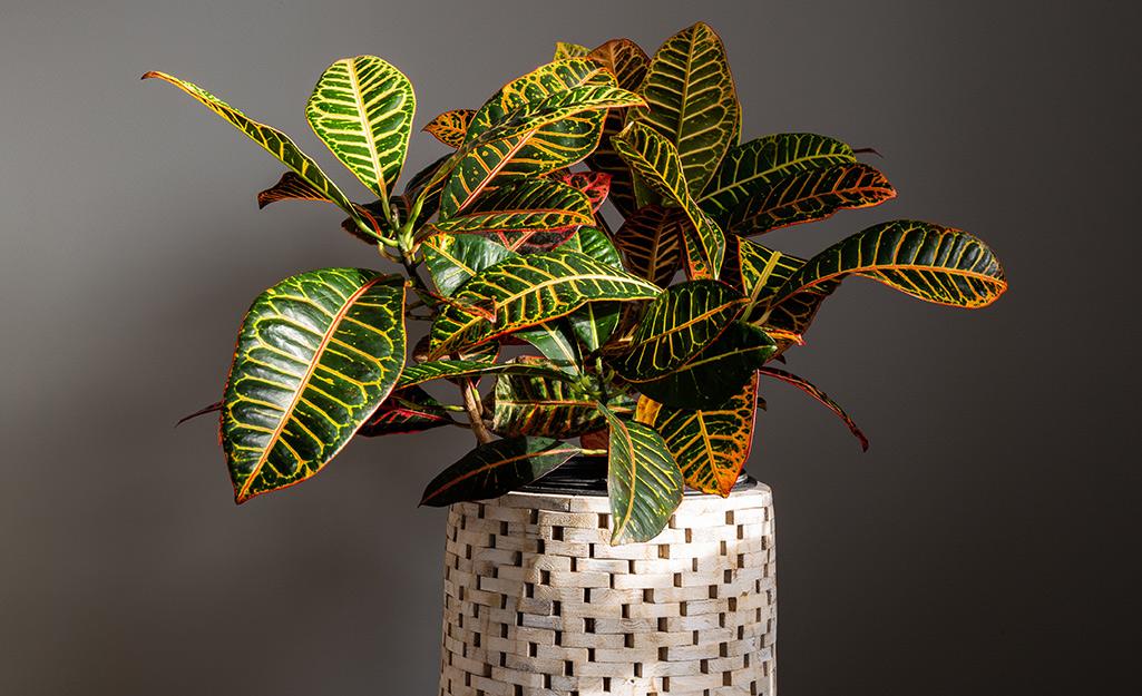 A vibrant croton plant in a woven basket pot.