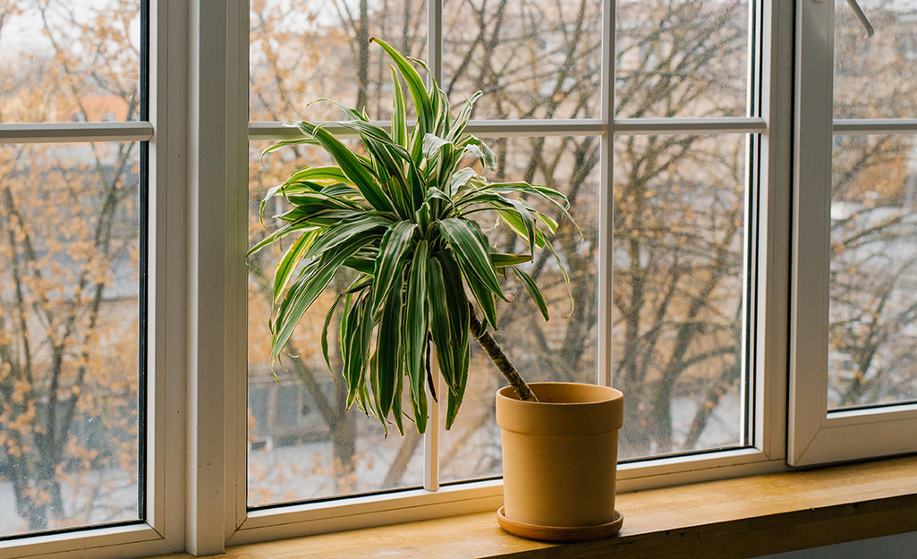 A potted dracaena plant on a lowlighted windowsill.