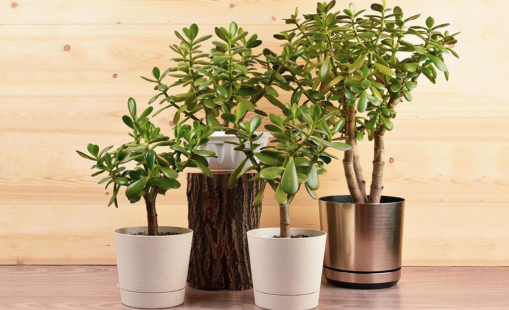 Bốn cây ngọc bích với nhiều kích thước khác nhau trong các loại chậu.