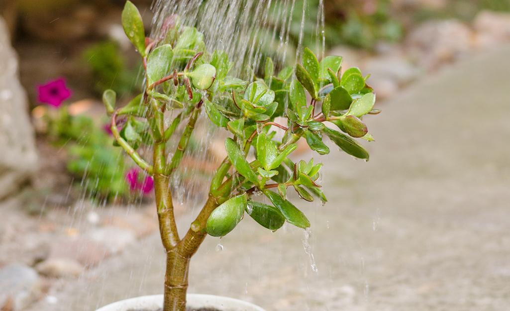 Nước được tưới trên cây ngọc bích.