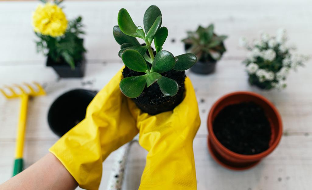 Có người đeo găng tay màu vàng để thay chậu cây ngọc ngân vào chậu mới.