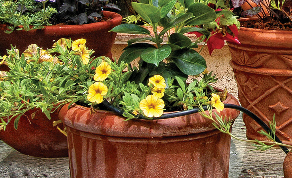 A pot of petunias with drip irrigation