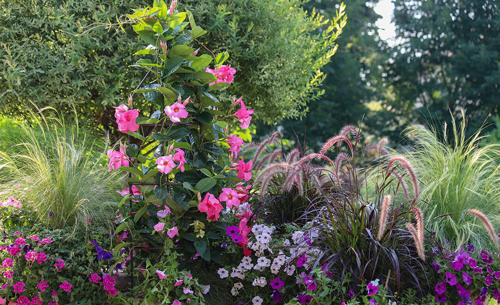 Mandevilla vine in a flower bed