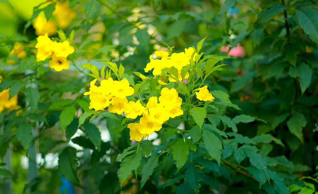 Yellow allamanda blooms on the vine