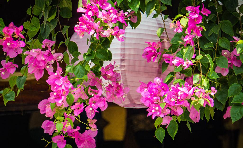 Pink bougainvillea vines in a basket