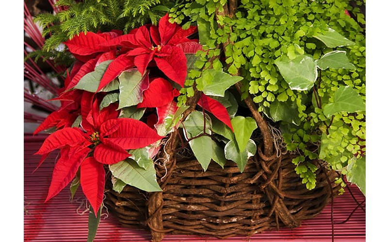 Punch up the Decor with Poinsettias
