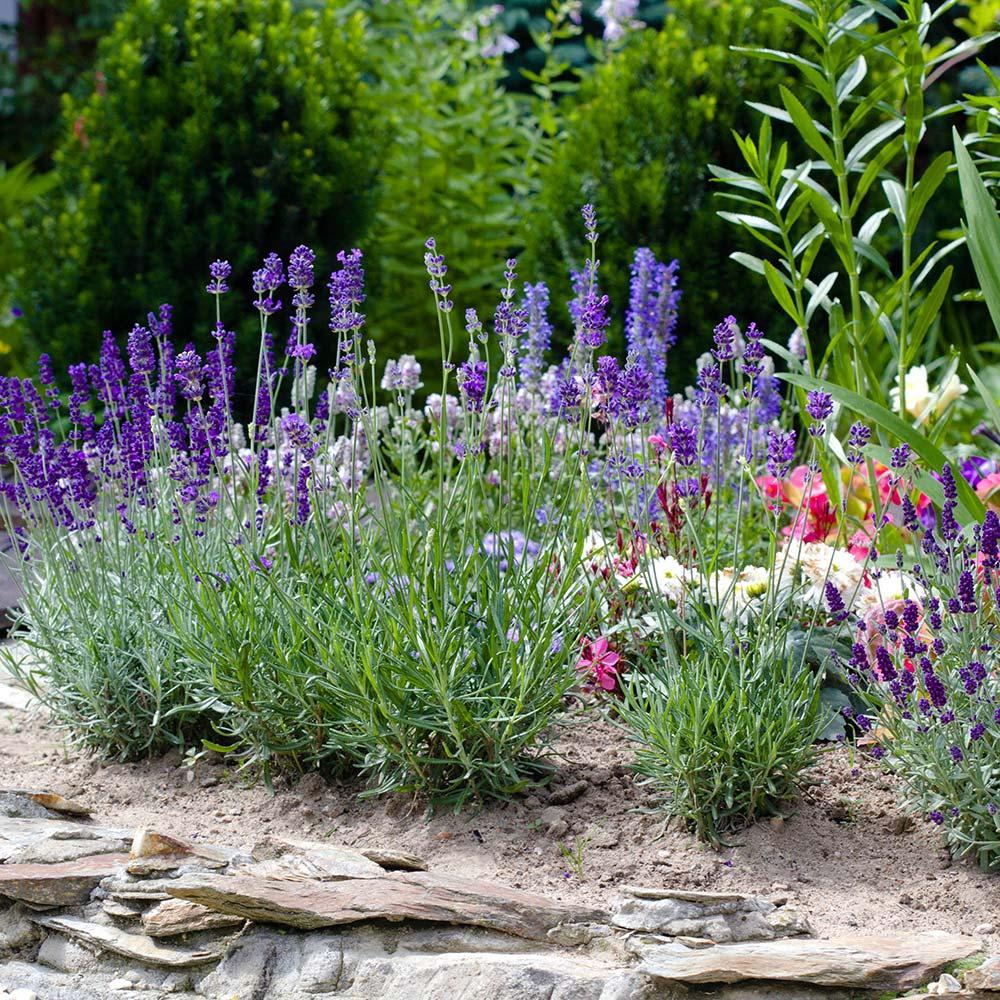 Lavender in the herb garden