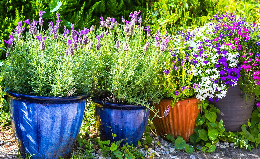 Lavender blooming in containers
