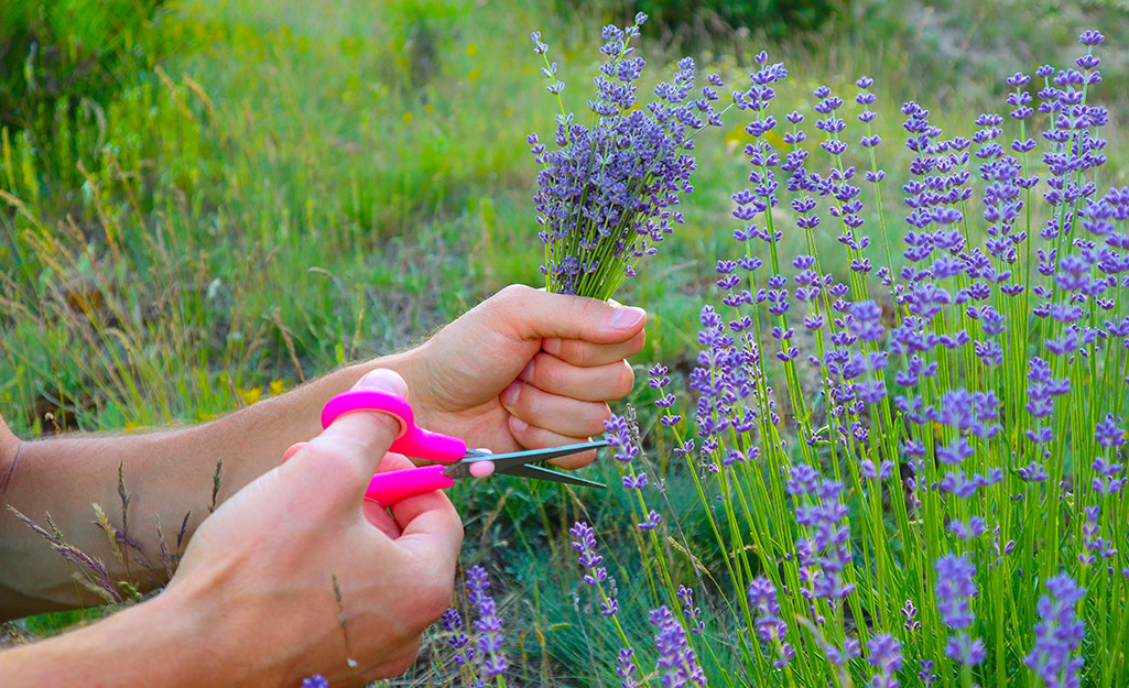 A gardener cutting lavender with snips