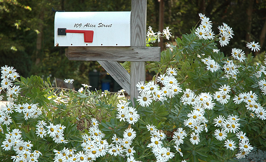 White daisies surround a mailbox