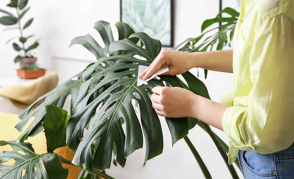 Someone wiping Monstera leaves with a soft, damp cloth to remove dust.