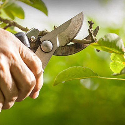 More Fruit for Your Labor – Prune and Protect Fruit Trees, Grapes and Berries Now