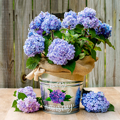 A blue hydrangea plant in a galvanized bucket.