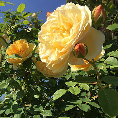Now is the Best Time to Plant Roses