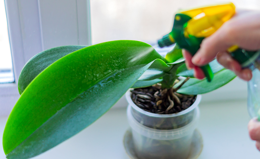 The leaf of an orchid plant with a hand using a spray bottle toward it.