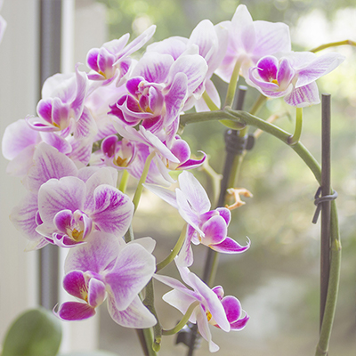 Pink orchids on a stake in window.