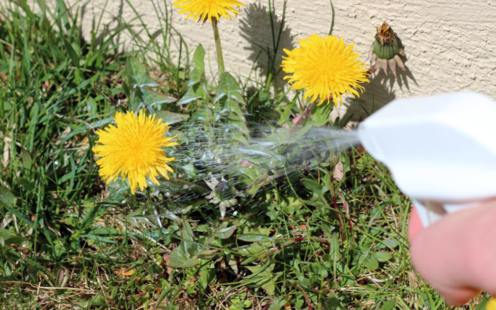 Person spraying lawn weeds with an organic weed killer.