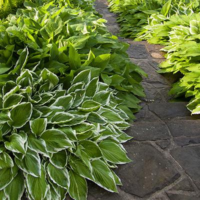 Hosta beside a garden path