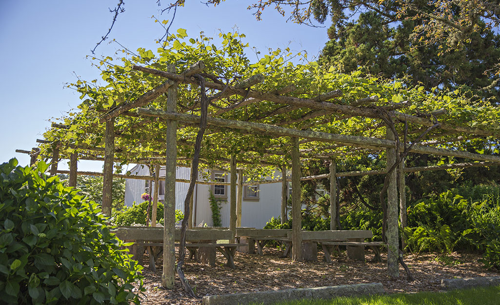 Vines trained over a pergola provide shade.