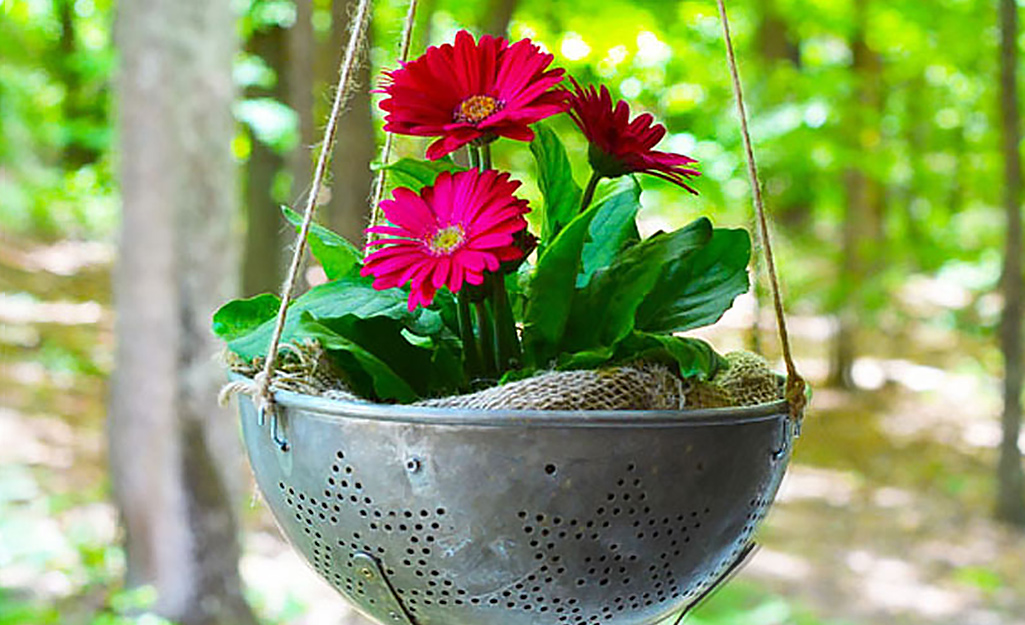 Pink gerbera daisies planted in a hanging colander.