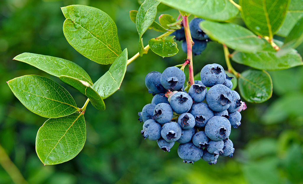 A bunch of blueberries growing on a bush.