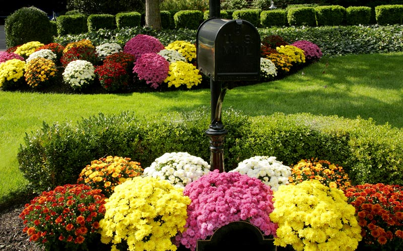 Colorful mums planted by a mailbox